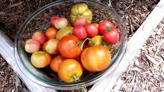 An Heirloom Tomato Variety That Rocks Dallas Texas!