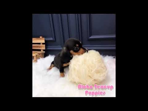 Toy Mini Dachshund Puppies For Sale - Tank