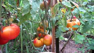 How To Grow Large 1-2 Pound And Record HeirloomTomatoes