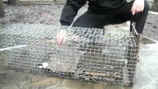 Ловушка для ловли ондатры своими руками