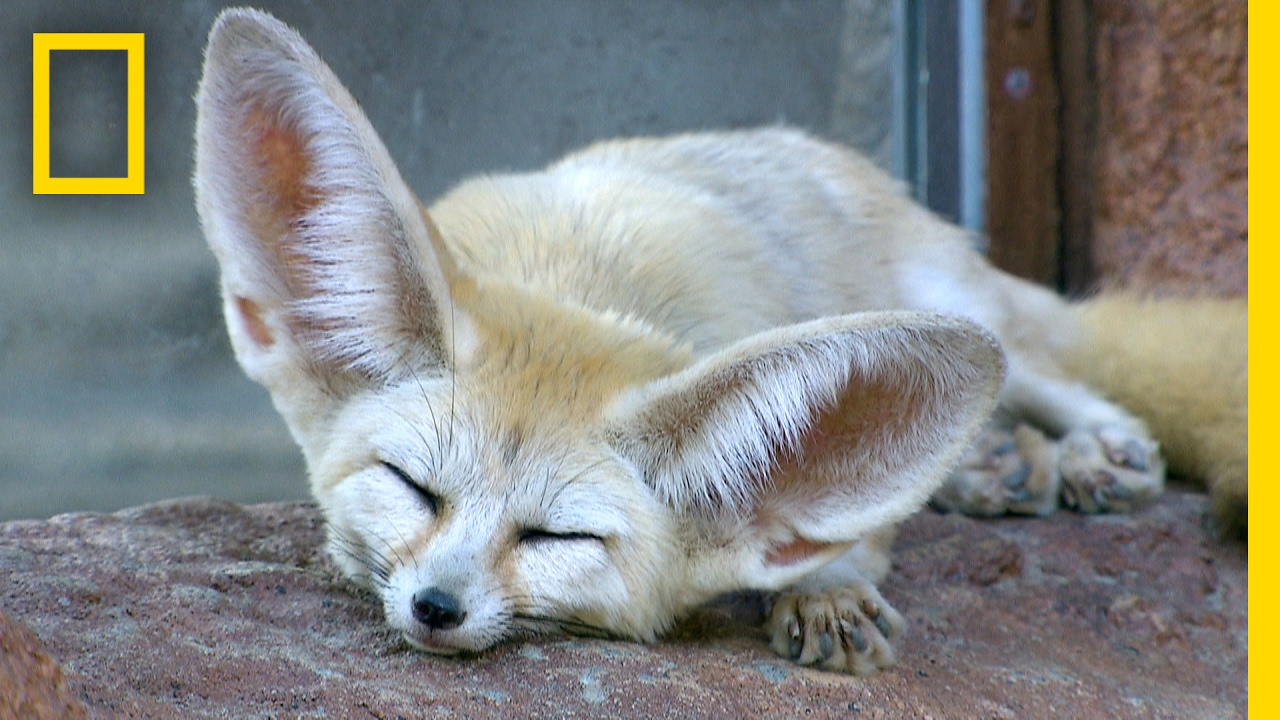 Fennec Foxes: Why Are Their Ears So Big? | National Geographic thumbnail