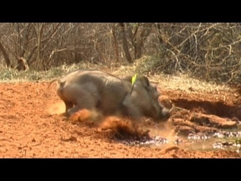 Bow hunting – warthogs and water melons