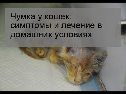 Чумка у кошек: симптомы и лечение в домашних условиях