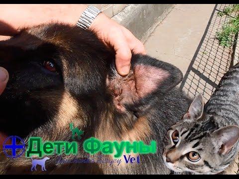 Гематома уха у собаки. Лечение гематомы уха. Советы ветеринара
