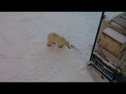 Голодный белый медведь вышел к людям (осторожно мат)