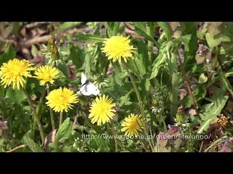春の庭のチョウ Butterflies in my garden May.03