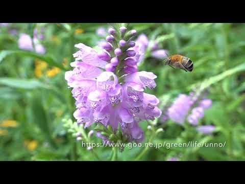 庭のハナバチ類の飛翔