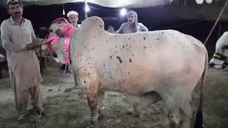 70k JORRI Kajla Chatra for Sale in Lahore Bakra Mandi