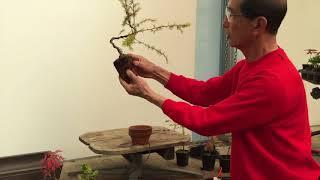 Wiring a Larch into a bonsai