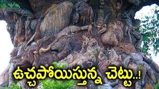 ఆ చెట్టును చూస్తే ఎవరికైనా వణుకు పుట్టడం ఖాయం..! || Most Dangerous & Mysterious Tree In Telangana