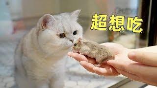 小仓鼠在多猫家庭讨生活,笼外的猫天天想吃自己,是什么体验