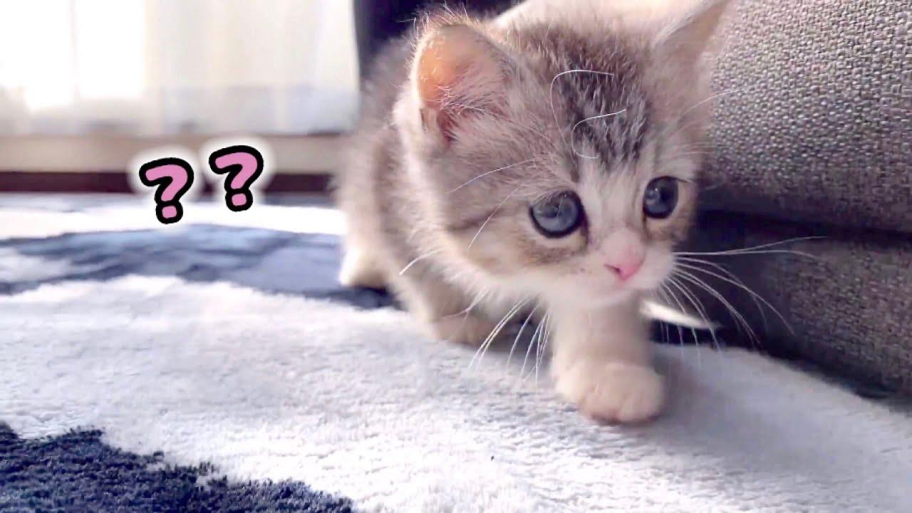 初めて部屋を探検する子猫がこちらです…笑【スコティッシュフォールド】