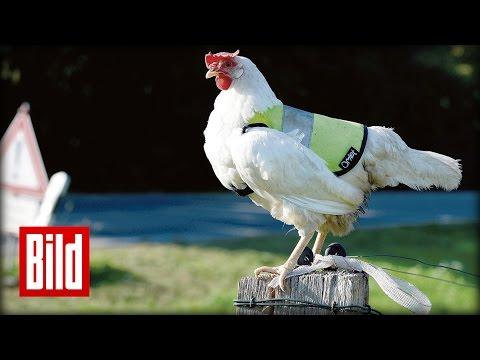 Huhn Polly trägt Warnweste - Sicherheit für Eier
