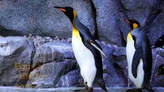 Emperor Penguin Is The Largest Species Of Penguins In The World.