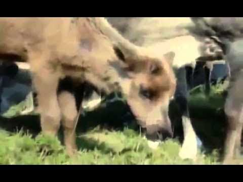 [NEW 2014 Full Documentary] Return of the Caribou - ANIMAL DOCUMENTARY CHANEL