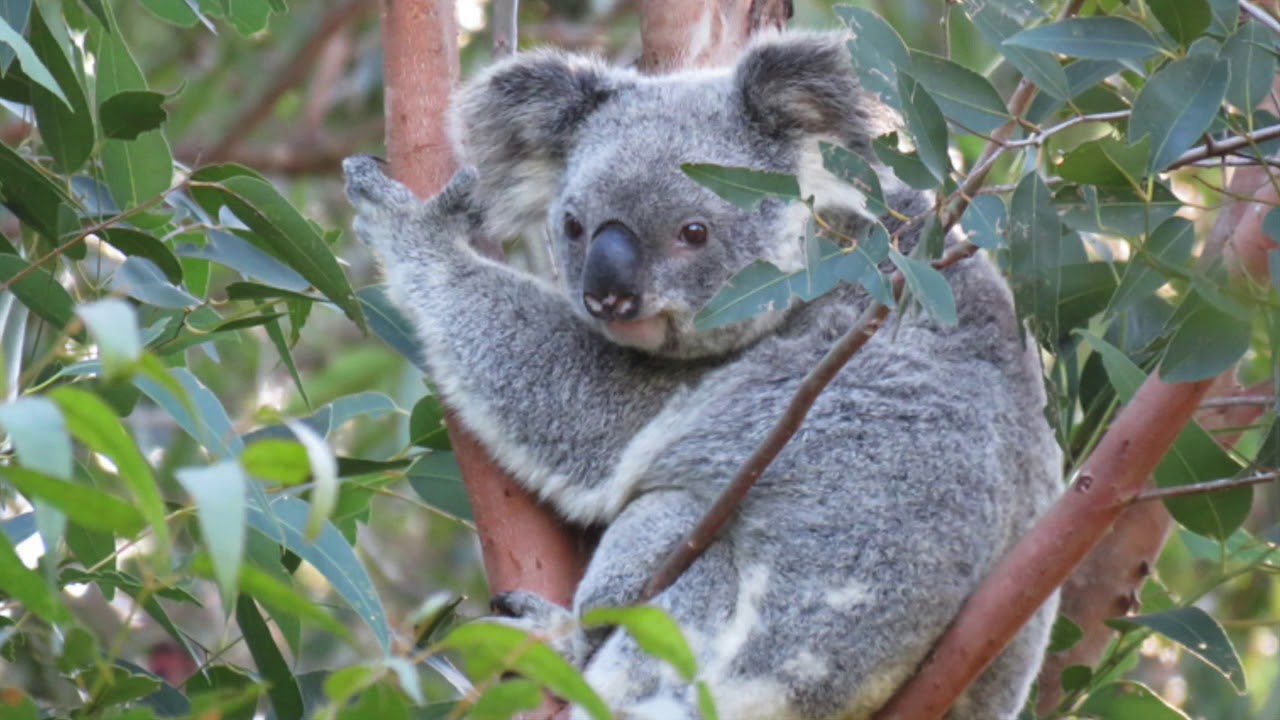 Mist – a legacy for koala awareness