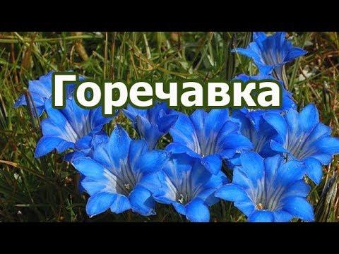 Корень растения горечавка синяя и желтая, лечебные и полезные свойства Gentiana.