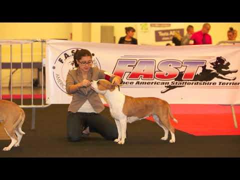 Nationale d'Élevage 2014 France American Staffordshire Terrier