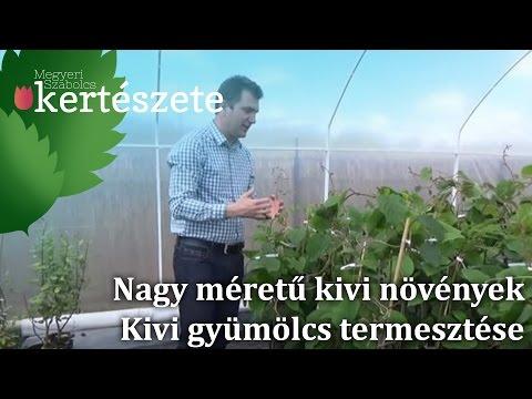 Gyertyák propolis dn prosztatitis