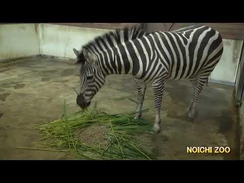 高知県立のいち動物公園 グラントシマウマ「ミライ」の食事