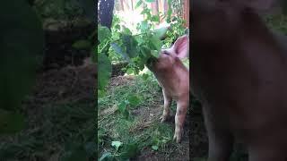 Schweinderl auf dem Bauernhof