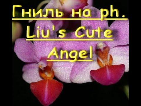 ОРХИДЕЯ рh.Liu's Cute Angel:ЖЕЛТЕЮТ листья от ШЕИ,гниль.