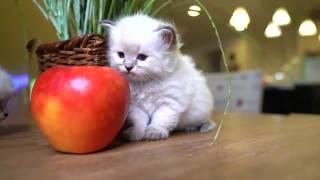 Милые смешные белые шотландские вислоухие котята скоттиш фолд - коты и кошки 2019 - приколы с котами