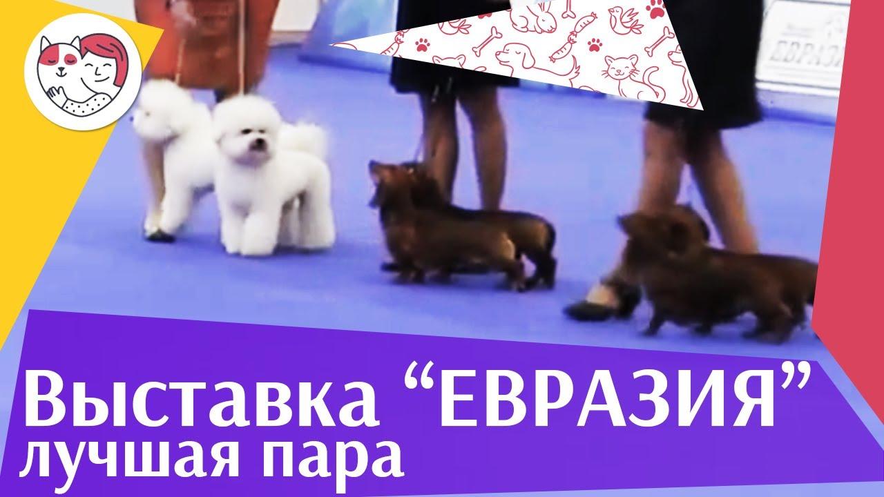 Best in show Лучшая пара 19 03 17 на Евразии ilikepet