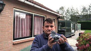 (NA ŻYWO) Holandia zakup gołębi Piet Merwe -  długi dystans gołębie do rozpłodu.