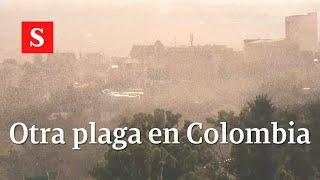 ¡Plaga De Langostas En Colombia! Lo Que Debes Saber | Videos Semana
