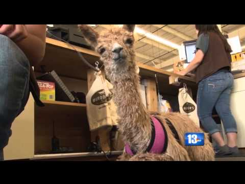 Orphaned Alpaca Goes Viral
