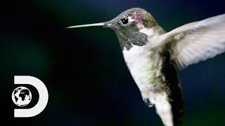 How Do Hummingbirds Hover? | How Do Animals Do That?