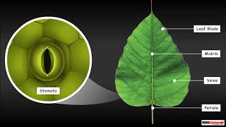 Structure of a Leaf | Science Tutorial