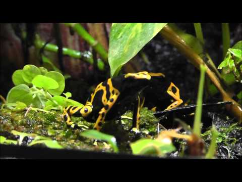 Bumble Bee Dart Frogs Calling