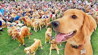 Golden Retriever Sets World Record For Largest Meetup! (caught On Tape)
