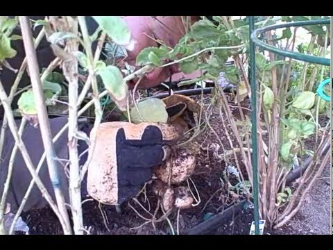 Video Harvesting Fresh Jicama Root aka Yam Bean out of a Desert Vegetable Garden
