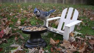 Lounging Blue Jays and Squirrels - Nov 5, 2020