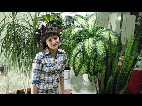 Обзор больших комнатных растений. Диффенбахия. Кротон. Фикус. Драцена. Педилантус. Сансевиерия.