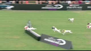 Jack Russell Run Competition - 2016 Purina® Pro Plan® Incredible Dog Challenge® Western Regionals