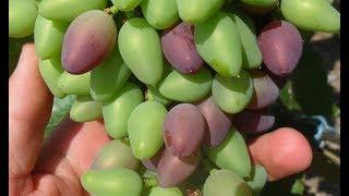 Виноград созреет раньше обычного на 2 недели!