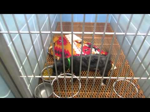 Daily Video of Adoption Animals at PCAS, an adoptable Affenpinscher in Largo, FL_image-1
