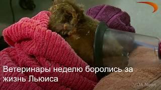 Ветеринары усыпили спасенную из огня коалу