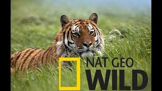 #11. Тайны дикой природы Индии. Бенгальский тигр. Nat Geo Wild