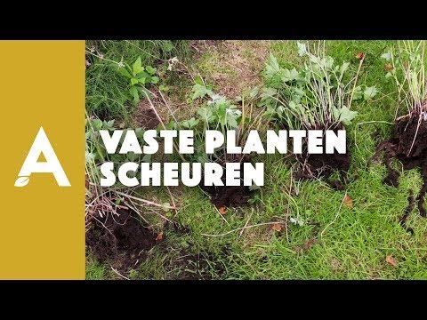 Hoe moet je vaste planten scheuren?