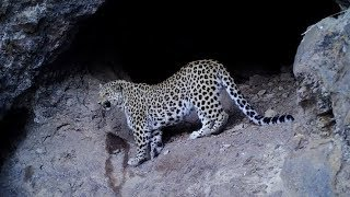 Stray leopards kill sheep in Nyeri, Ciara-ini villagers counting losses