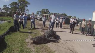 Largest South Florida Gator On Video