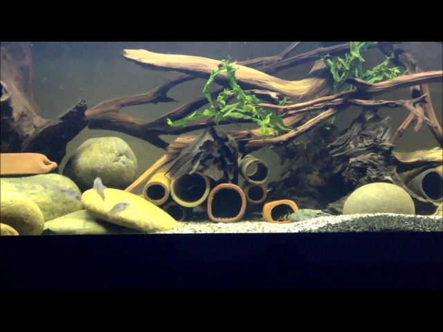 Corydoras playing in the water current in 75 gal tank