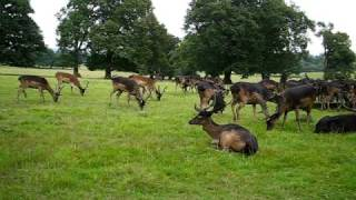 preview picture of video 'Black Fallow Deer in Epping Forest'