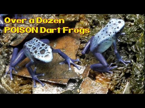POISON Dart Frogs - Blue Azureus LARGE Juvenile group feeding