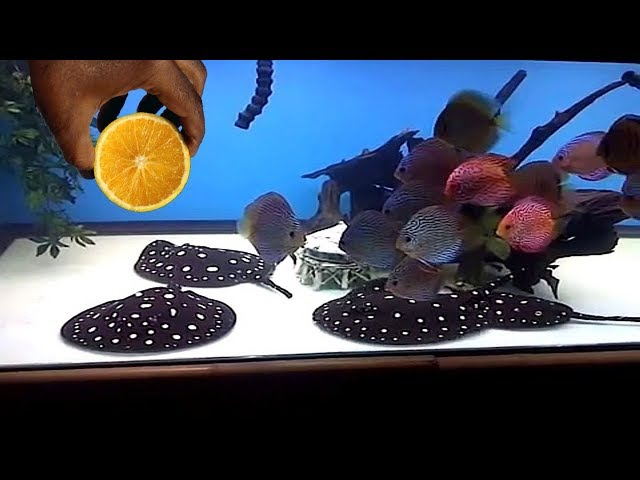 THIS WILL HAPPEN WHEN YOU DROP ORANGE PEEL INSIDE OF YOUR PET DISCUS FISH TANK